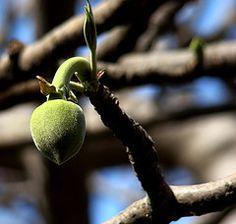 Baobab fruit.