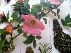 květ šípku Nordic Interior, Korn, Fit, Plants, Shape, Plant, Planets