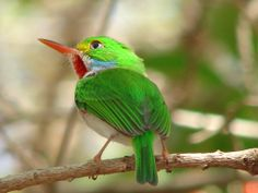 The Cuban Tody (Todus multicolor) is a bird species in the family Todidae that is restricted to Cuba and adjacent islands. The species is characterized by small size (11 cm (4.3 in)), large head relative to body size, and a thin, pointed bill. Similar to other todies, the colouration of the Cuban Tody includes iridescent green dorsum, pale underparts, and red highlights.