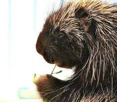 """porcupine - """"Spike"""" ~ looks like he's using one of his quills to pick his teeth after a good meal ; )"""