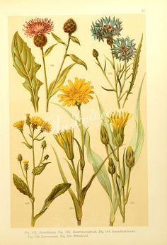 centaurea nigra, centaurea cyanus, tragopogon pratensis, scorzonera hispanica, picris hieracioides ...