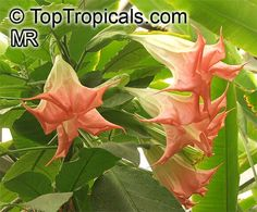 Brugmansia insignis 'Jamaica Yellow' - Google Search