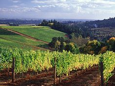 Willamette Valley Vineyard pictures - Dundee, Oregon -  Willamette Valley Grapes - Yamhill County