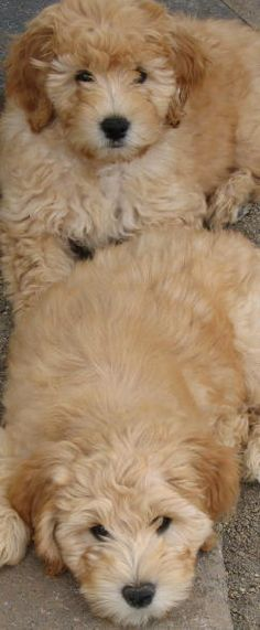 Labradoodle puppies <3