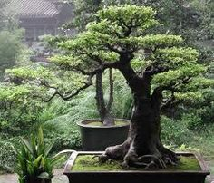 Beautiful garden bonsai tree.    Article mentions that bonsai did not originate in Japan.  Never would have guessed that!