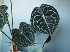 Anthurium clarinervium til alle hjerters dag Outdoor Plants, House Plants, Planting Flowers, Plant Leaves, Planters, Garden, Indoor, Alternative, Interior