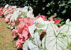 Caladium near the French Parterre