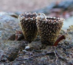 """Fluted Bird's Nest Fungi or Cyathus striatus, whose spore-filled """"eggs"""" or…"""