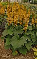 Ligularia 'The Rocket'Common Name: leopard plant Type: Herbaceous perennial Family: Asteraceae Zone: 4 to 8 Height: 3.00 to 5.00 feet Spread: 2.00 to 4.00 feet Bloom Time: June to July Bloom Description: Lemon yellow Sun: Part shade to full shade Water: Medium to wet Maintenance: Medium Suggested Use: Rain Garden Flower: Showy Tolerate: Heavy Shade, Wet Soil