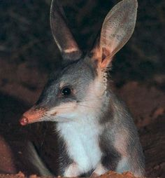 Bilby vs Rabbit | Submitted by ChB on Sat, 01/10/2009 - 11:18.