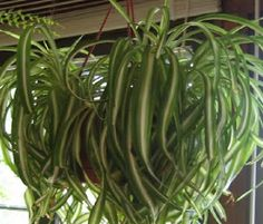 Plants are the Strangest People: Single Mother (Chlorophytum comosum) Chlorophytum, Crazy People, Succulents Garden, Plants, Flora, Plant