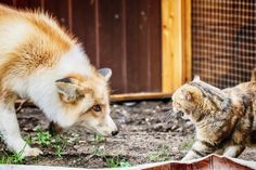 Do Foxes Eat Cats? How to Keep Your Pets Safe Small Rabbit, Small Cat, Small Dogs, Fox Eat, Fox Information, Pet Vet, Fox Hunting, Feral Cats, Wild Dogs