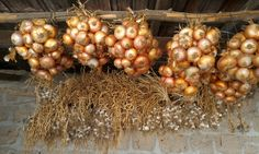 #Onions and #garlic hanging in the farm.