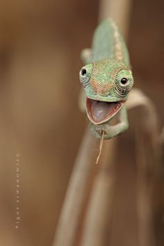 20+ Chameleon Babies That Will Make You Fall In Love With Lizards | Bored Panda | Bloglovin'