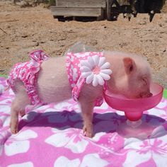 Priscilla & Poppleton: The Mini-Pigs Taking Instagram by Storm! (21 pictures)