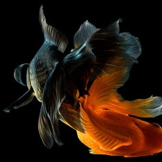 Tristan & Lidia Photography Underwater Photography, Photography Backdrops, Animal Photography, Beautiful Fish, Beautiful World, Tier Fotos, Creature Feature, Shades Of Black, Goldfish