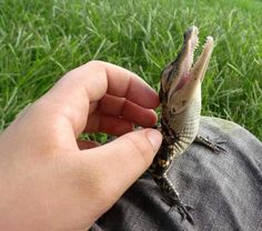 Happy Alligator - This is how I feel when I get my back scratched! LOL!