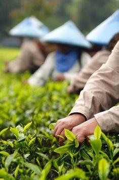 Hands at work through the eyes of Cretense.  tea plantation of Ciwalini, West Java, Indonesia.