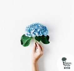 """It's presumed that the botanist, Philibert Commerson named the """"hortensia"""" after a woman. The identity of the muse is still undefined #FDE #hydrangeas"""