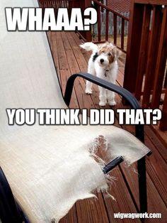 Fox terrier destruction