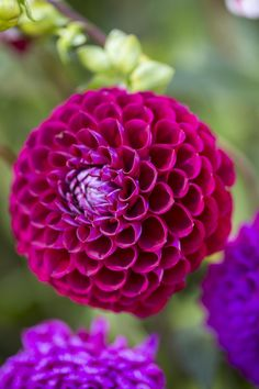 The deep magenta-red of Dahlia 'Cornel'. Discover eight red dahlia to grow… Cottage Garden Plants, Garden Shrubs, House Plants, Weird Plants, Unusual Plants, Magenta Flowers, Beautiful Flowers, Dahlia Flowers, Bulb Flowers