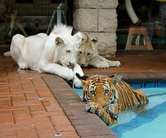 take care of lions and tigers :))