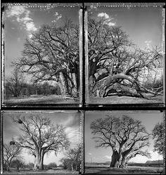 Baobab Tree, Create Words, Photographs, Trees, Gardening, Landscape, Watch, Craft, Drawings