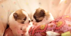 """These two adorablePomeranian puppies are siblings and they seem to love each other so much, which makes them so adorable to watch! Watch the video below and see these two adorable tiny Pomeranian puppies kissing each other! And there little squeaks are just so cute. These two little cuties will surely make you say """"Aww! …"""