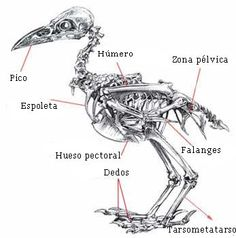 burd wing anatomy images - Google Search | cre | Pinterest | Anatomy ...
