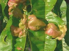 Pests and diseases can occur in backyard fruit trees. Garden Center, Fairy Garden, Plants, Fruit Trees, Organic Gardening, Plant Protection, Organic Gardening Pest Control, Plant Care, Garden