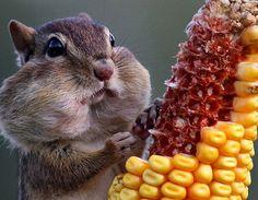 Chipmunk likes corn
