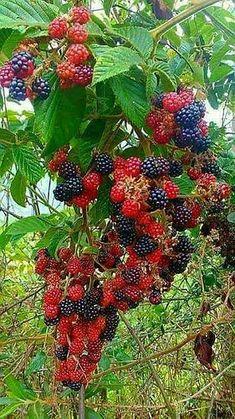 Pin on Fruit Fruit Plants, Fruit Garden, Fruit Trees, Vegetable Garden, Colorful Fruit, Tropical Fruits, Fresh Fruit, Beautiful Fruits, Beautiful Flowers