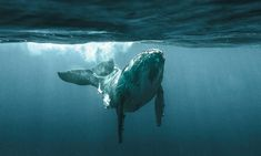 """heleneoctobre: """" Ph: Rita Kluge Humpback Whale Be self conscious, we have only one planet. Under The Water, Orcas, Beautiful Creatures, Animals Beautiful, Beautiful Images, Marine Conservation, Wale, Ocean Creatures, Humpback Whale"""