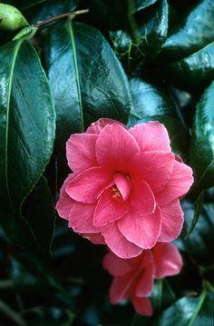 Camellia japonica 'Rainy Sun' Fotografia de John Glover, uno de los primeros y de los mas importantes fotografos de jardin del Reino Unido