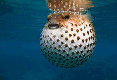 Pez Globo Más peces curiosos en http://www.masquecuriosidades.com/animales-raros/