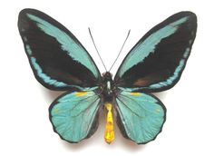 Real Ornithoptera Aesacus Pair From Obi Island  by ButterflyPalace. HARD TO GET IT !