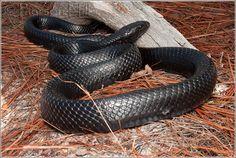 Dream Snake, Faith Tattoos, Wild Life, Snakes, Reptiles, Habitats, Indigo, Pets, American