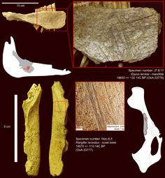 Sci-News:  Humand arrived in North American around 24,000 years ago. This from an analysis of ancient animal bones found in Yukon, Canada.