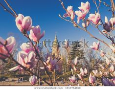 Europeean City Springtime Baby Rose Flowers Stock Photo (Edit Now) 1517754650
