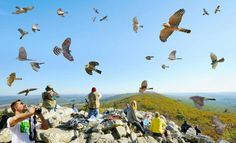 Hawk Mountain, PA Birding Hotspot!! It's the best place I've been to for viewing Raptors in the world. (p.s.this picture has been photoshop) https://www.facebook.com/#!/HawkMountainSanctuary