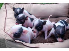 Mini Pot Bellied Teacup Piglets, I want one! Pet Pigs, Baby Pigs, Baby Animals, Funny Animals, Cute Animals, Cute Little Baby, Little Pigs, Teacup Piglets, Pot Belly Pigs