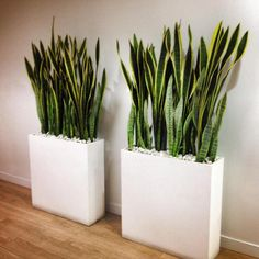 Не боимся темноты! Топ-5 растений, которые украсят не только подоконник – Журнал – His.ua