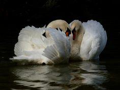 swans in shade Like Animals, Cute Baby Animals, Beautiful Birds, Animals Beautiful, Cygnus Olor, Mute Swan, Watercolor Flowers, Watercolour, Swan Lake