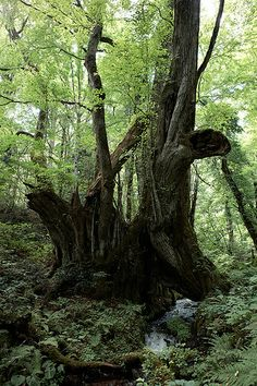 "The tree of Katsura (Cercidiphyllum japonicum) for age-of-a-tree 1000 years ""great Katsura of Wachi"" in Torokawataira, Kami, Hyogo Prefecture, Japan"