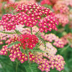 Yarrow (Achillea) - Best Plants for Rain Gardens - Sunset