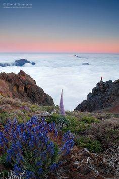 Tajinaste rosado, La Palma. Canarias