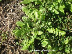 Capsella bursa-pastoris - Bourse à pasteur