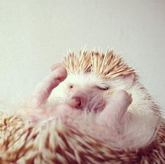 cute, funny, funny pictures, funny photos, hedgehog, funny animals, adorable, Meet Darcy, the Cutest Hedgehog You'll See All Day