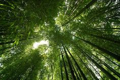 Bamboo forest, Sichuan. Photo by Pat Rioux.