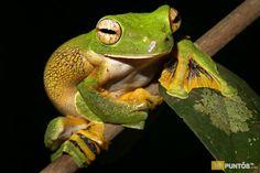 especies-extrañas-ranas-8